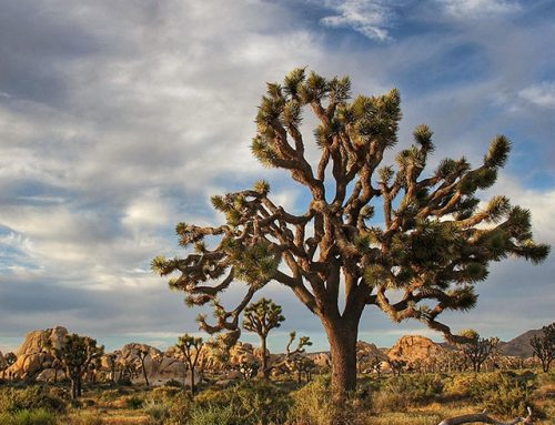 From the Desert Sun: Joshua trees protected in historic vote